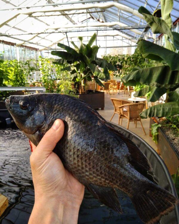 Färsk Tilapia infrusen aquaponics